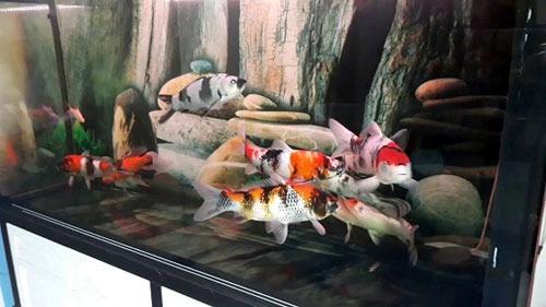 Làm bể kính nuôi cá koi giá rẻ tại TPHCM
